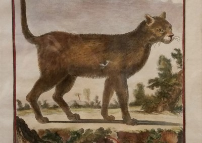Buffon (1707-1788) Le Chat Sauvage Pl 43 Ca 1755  $210