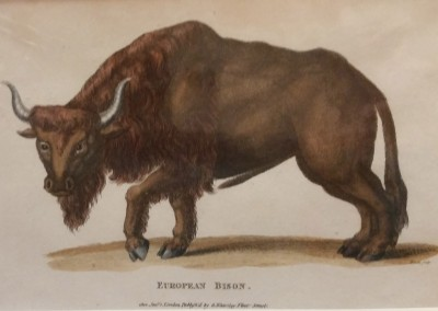 Shaw, George (1751-1813) European Bison Pl 205 1801 Engraving  $80