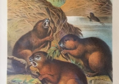 "Johnson, Henry - ""Beavers, Pl. LV"", Chromolithograph, 1880, $50"