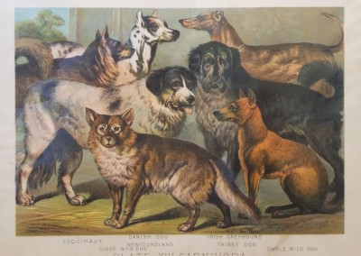 "Johnson, Henry - ""Dogs, Pl. XIV"", Chromolithograph, 1880, $70"