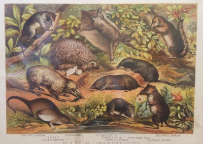 "Johnson, Henry - ""Shrew, Pl. V"", Chromolithograph, 1880, $30"