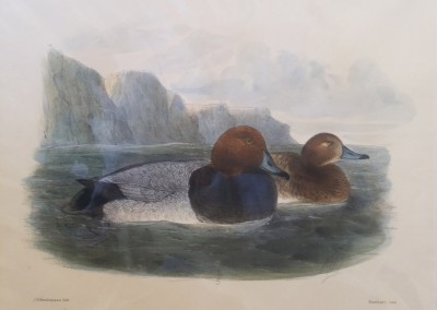 "Keuleman, J.G - ""Pochard"", Hand Colored Stone Lithograph, Ca 1885, $260"