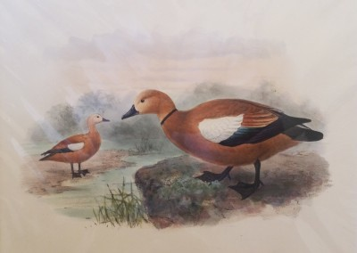 "Keuleman, J.G - ""Ruddy Shell Drake"", Hand Colored Stone Lithograph, Ca 1885, $260"