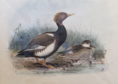 "Keuleman, J.G. - Red Crested Pochard"", Hand Colored Stone Lithograph, Ca 1885, $260"