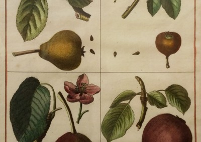 "Sellier - ""Madeline/Muscat Pears, Pl.1"", Engraving, Ca 1800, $720"