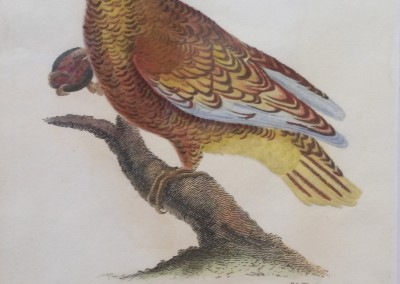 """Shaw, George (1751-1813) - """"Paradise Parrot, Pl.75"""", General Zoology, Steel Engraving, 1811, $230"""