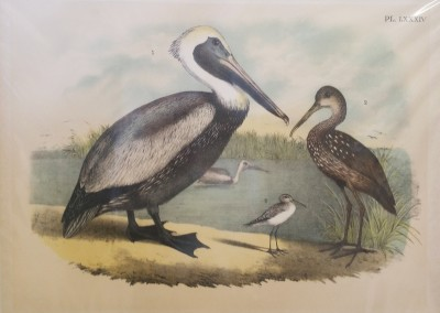 "Studer, Jacob H. - ""Brown Pelican, Pl. 84"", Chromolithograph, 1888, $90"