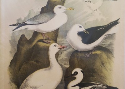 "Studer, Jacob H. - ""Sea Gulls, Pl. 74"", Chromolithograph, 1888. $80"