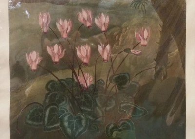 Thornton Persian Cyclamen Early 1900's Reproduction Hand Colored BO1264OM $260