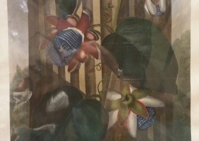 Thornton Winged Passion Flower Early 1900's Reproduction Hand Colored BO1265OM $260