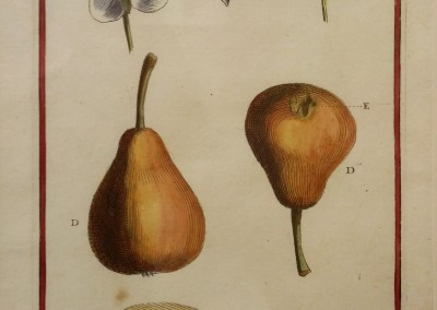 "Unknown - ""Pyrus-Poirier, Tab. 404"", Engraving, Ca 1700, $120"