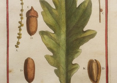 "Unknown - ""Quercus- Chene, Tab. 349"", Engraving, Ca 1700, $130"