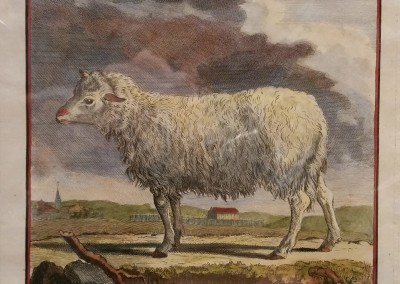 Buffon (1707-1788) Brebis Commune Pl 6 Ca 1755  $210