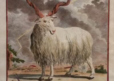 Buffon (1707-1788) La Brebis Valachiene Pl 8 Ca 1755 $210