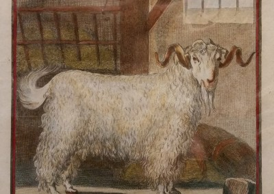 Buffon (1707-1788) Le Bouc D'Angora Pl 8 Ca 1755  $210