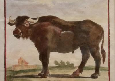 Buffon (1707-1788) Le Bufle Pl 42 Ca 1755 $210