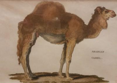 Shaw, George (1751-1813) Arabian Camel Pl 45 1801 Engraving  $120