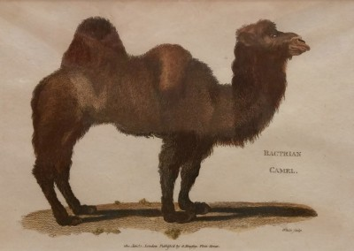 Shaw, George (1751-1813) Bactrian Camel Pl 167 1801 Engraving $120