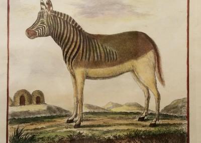 """Buffon (1707-1788) - """"Le Kwagga, Pl. 6"""", Engraving, Ca 1755, $210"""