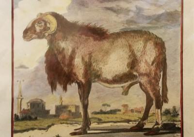 """Buffon (1707-1788) - """"Le Morvant, Pl. 10"""", Engraving, Ca 1755, $210"""