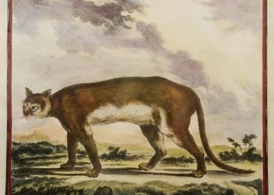 "Buffon(1707-1788) - ""Le Cougar De Pensilvanie, Pl. 4"", Engraving, Ca 1755, $210"
