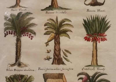 DeBry Palms and Fruit Pl XLV 1611 Engraving  $1300