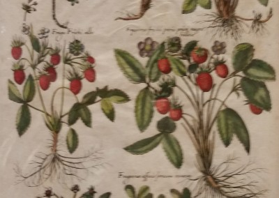 DeBry Strawberries Pl CXIII 1611 Engraving $520