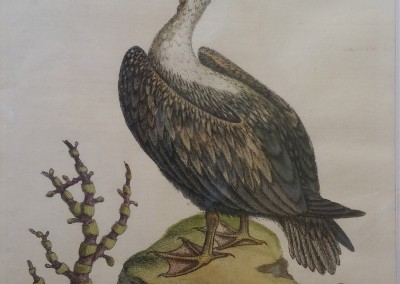 "Edwards, George - ""Pelican, Pl. 93"", 1742, Rare Engraving, $650"