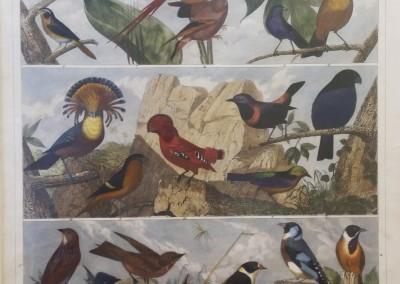 "Heck, G. - ""Birds, Pl. 101"", Engraving, 1851, $200"