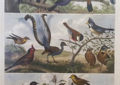 "Heck, G. - ""Birds, Pl. 102"", Engraving, 1851, $200"