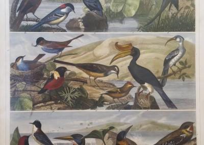 "Heck, G. - ""Birds, Pl. 103"", Engraving, 1851, $200"