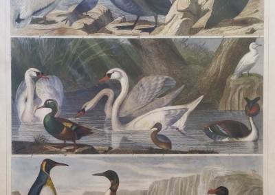 "Heck, G. - ""Birds, Pl. 91"", Engraving, 1851, $200"