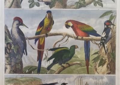 "Heck, G. - ""Birds, Pl. 98"", Engraving, 1851, $200"