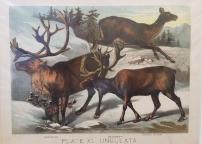 "Johnson, Henry - ""Caribou, Pl. XI"", Chromolithograph, 1880, $70"