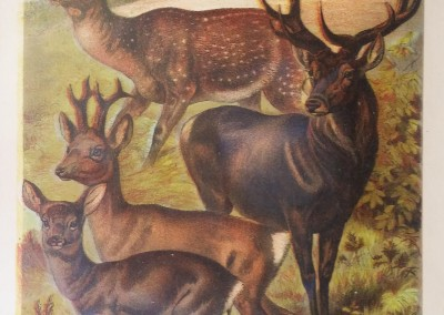 "Johnson, Henry - ""Deer, Pl. XIII"", Chromolithograph, 1880, $50"