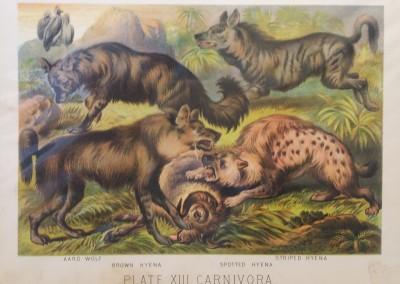 "Johnson, Henry - ""Hyena, Pl. XIII"", Chromolithograph, 1880, $30"