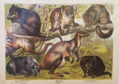"Johnson, Henry - ""Kangaroo, Pl. LXIII"", Chromolithograph, 1880, $50"