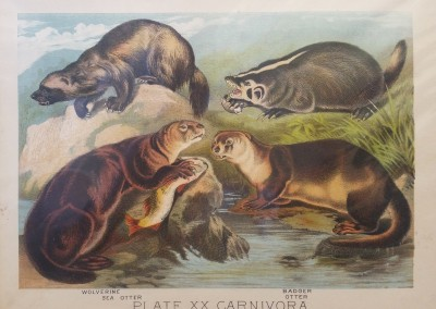 "Johnson, Henry - ""Otter, Pl. XX"", Chromolithograph, 1880, $50"