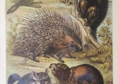 "Johnson, Henry - ""Porcupine, Pl. LVIII"", Chromolithograph, 1880, $50"