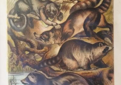 "Johnson, Henry - ""Raccoon, Pl. XXI"", Chromolithograph, 1880, $30"