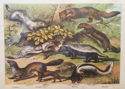 "Johnson, Henry - ""Weasel, Pl. XIX"", Chromolithograph, 1880, $30"