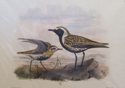 """Keuleman, J.G - """"Eastern Golden Plover"""", Hand Colored Stone Lithograph, Ca 1885, $260"""