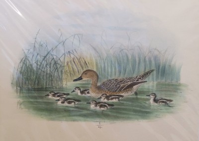 """Keuleman, J.G - """"Pintail With Young"""", Hand Colored Stone Lithograph, Ca 1885, $260"""