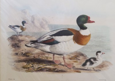 """Keuleman, J.G. - """"Common Shell Drake"""", Hand Colored Stone Lithograph, Ca 1885, $260"""