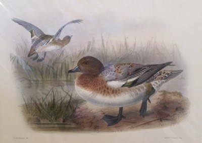 """Keuleman, J.G. - """"Wigeon"""", Hand Colored Stone Lithograph, Ca 1885, $260"""