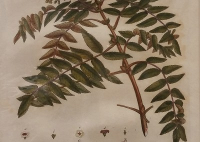 Miller The Quicken Tree 1776 Engraving BO 0454 OM $210