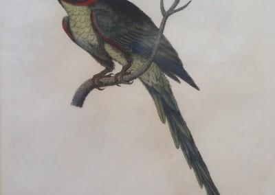 "Shaw, George (1751-1813) - ""Alexandrine Parrakeet, Pl. 61"", General Zoology, Steel Engraving, 1811, $230"