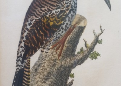 """Shaw, George (1751-1813) - """"Gold-Crested Woodpecker"""", Engraving, 1811, $180"""