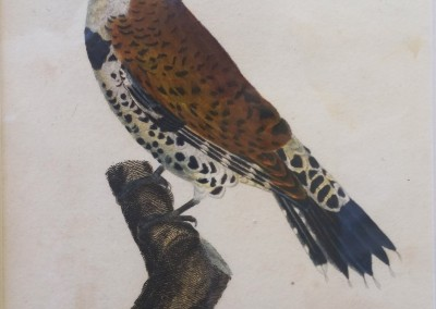 """Shaw, George (1751-1813) - """"Gold Wingered Woodpecker, Pl. 36"""", General Zoology, Steel Engraving, 1811, $230"""