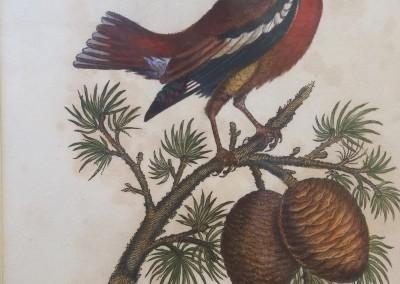 """Shaw, George (1751-1813) - """"Hawfinch Grosbeak, Pl. 42"""", General Zoology, Steel Engraving, 1811, $230"""